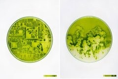 Lia Giraud : Algae-graphies